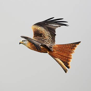 Red Kite soaring by Grant Glendinning