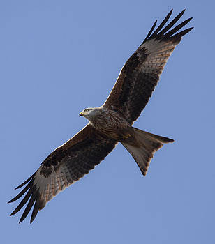 Red Kite Soaring by Simon West