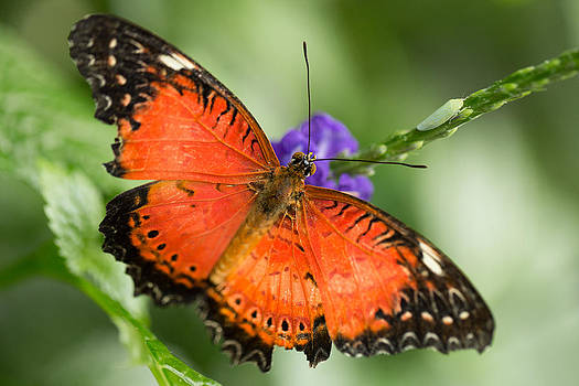 Red Lacewing by Gerald Murray Photography