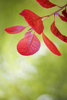 Red Leaf by Gillian Dernie