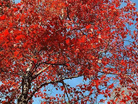 Red Leaves by Gene Cyr