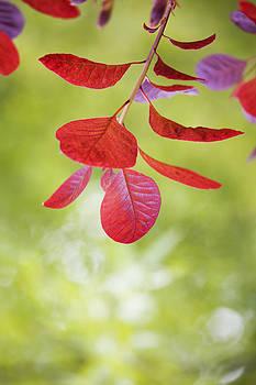 Red Leaves by Gillian Dernie