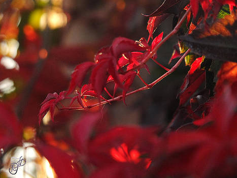 Red leaves in the sun by Raewyn Forbes