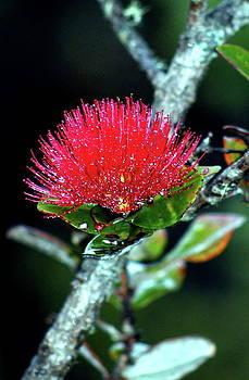 Red Lehua  Kawaiko'olihilihiokalikolehua by Lehua Pekelo-Stearns