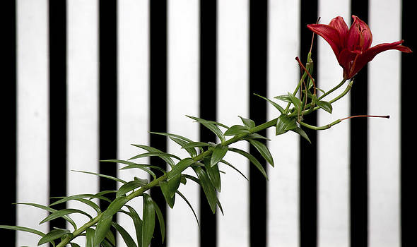 Red Lily with Stripes by Alfredia Mealing