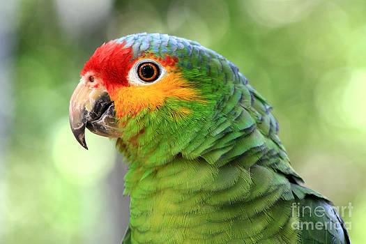 Teresa Zieba - Red-lored Amazon Parrot