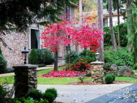 Red Maple In Fall Yard by Tanya  Searcy