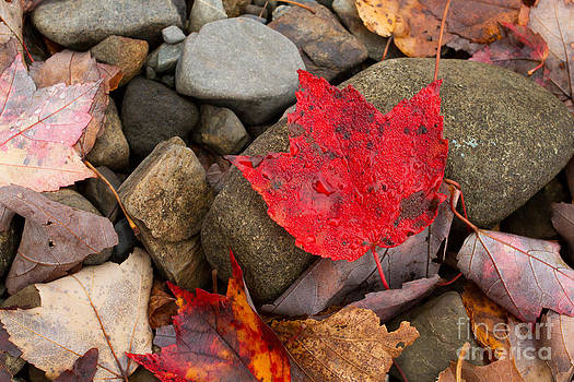 Red Maple Leaf by Denise Lilly