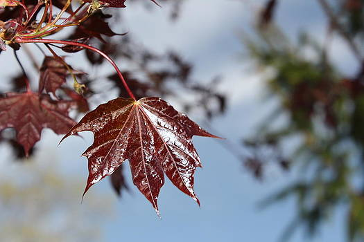 Red Maple Leaf by James Hammen