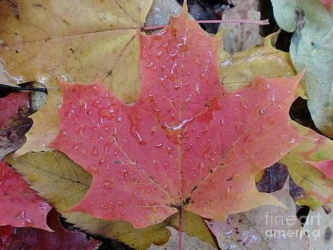 Red Maple Leaf by Karolina Olszewska
