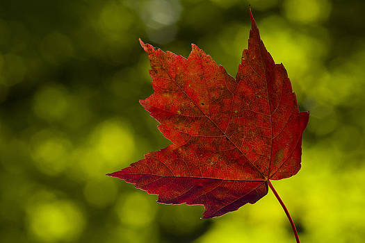 Red Maple Leaf by Megan Noble