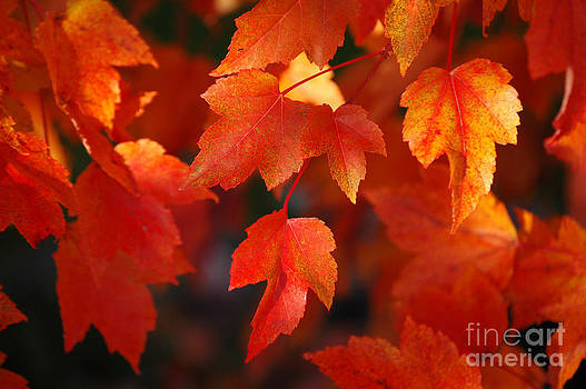 Sarah Schroder - Red Maple Leaves