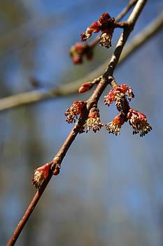 Nina Fosdick - Red Maple Tree Flowers