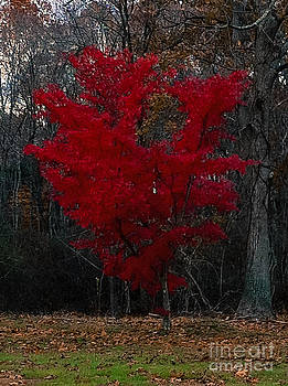 Red Maple Tree by Lisa Cortez