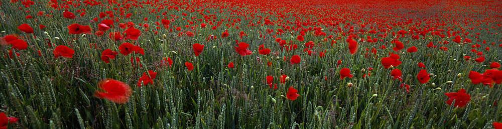 Red Mass Poppies by Tony Wainwright