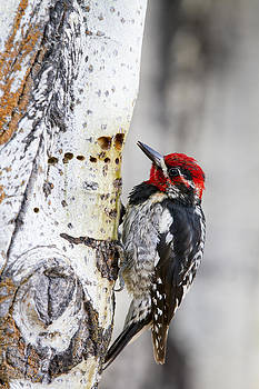Red-naped Sapsucker by Windy Corduroy