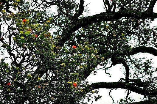 Red Ohia Lehua Tree by Lehua Pekelo-Stearns