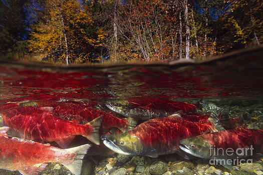 Red or Sockeye Salmon unique view showing above and below river spawning fish underneath by Brandon Cole