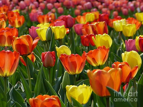 Christine Stack - Red Orange Yellow and Pink Tulips