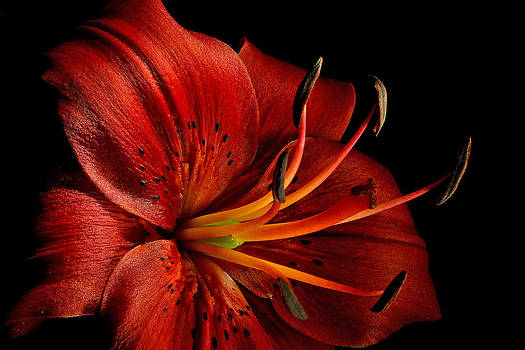 Greg Sava - Red Oriental Lily Close Bright