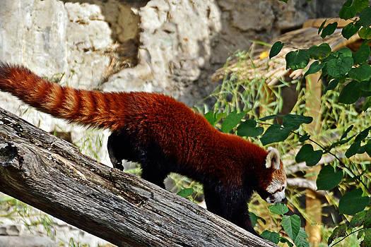 Walter Herrit - Red Panda 1