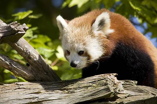 Red Panda by Gillian Dernie