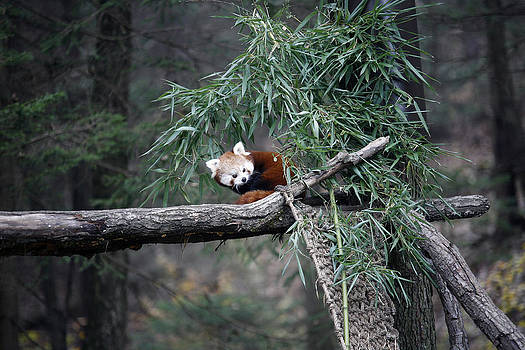 Red Panda by Nina Peterka