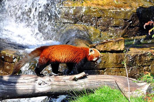 Red Panda by Steen Hovmand Lassen