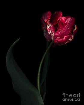 Oscar Gutierrez - Red Parrot Tulip