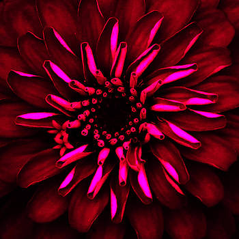 Red Pink Glow Flower by Donna Betancourt