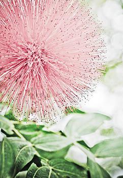 Marilyn Hunt - Red Pink Powder Puff flower