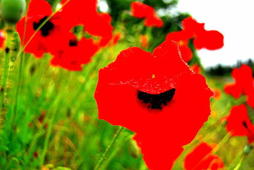 Red Poppies by Mamie Gunning