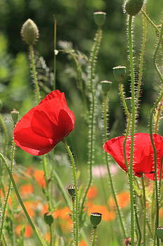 Red Poppies by Rebeka Dove