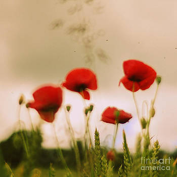 Red poppies by Sylvia Lakoma