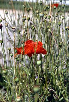 Stephen Proper Gredler - Red Poppy and Buds