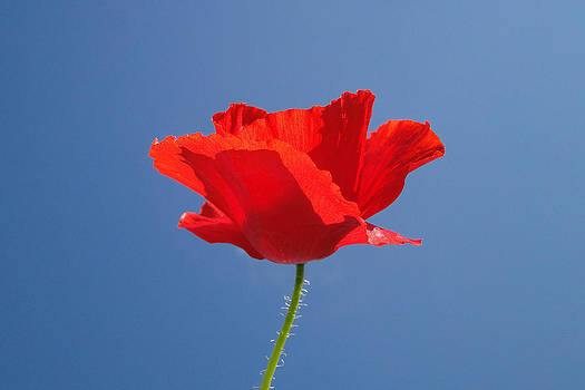 Red Poppy by Barrie Woodward
