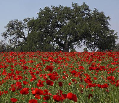 Susan Rovira - Red Poppy Field