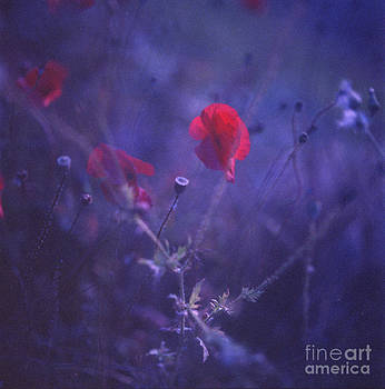 Red poppy in blue medium format analog Hasselblad film photo by Edward Olive