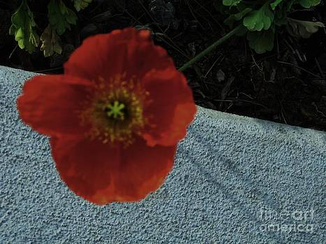 Red Poppy by Theresa Davis