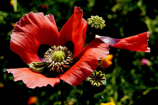 Red Poppy with Scarf by Michael Rudolf