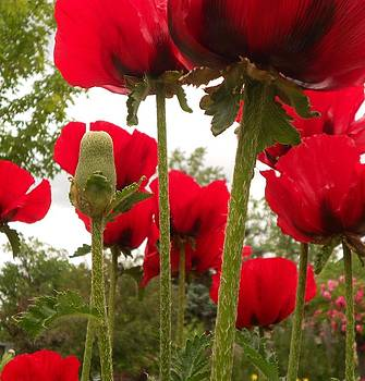 Red Poppy's by Julie Federico