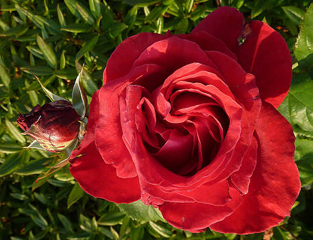 Baato   - red rose and bud