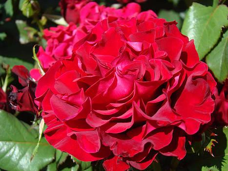 Baslee Troutman - RED Rose Art Prints Big Roses Floral