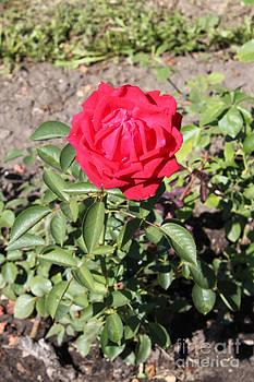 Red rose by Evgeny Pisarev