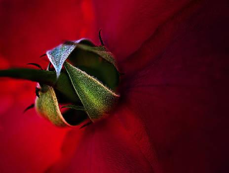 Red Rose by Henrik Petersen