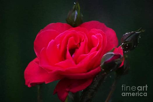 Red  Rose by Larry Stolle