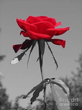 Jaclyn Hughes Fine Art - Red Rose on Black and White