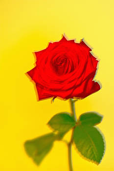 Red rose on yellow by Lars Hallstrom