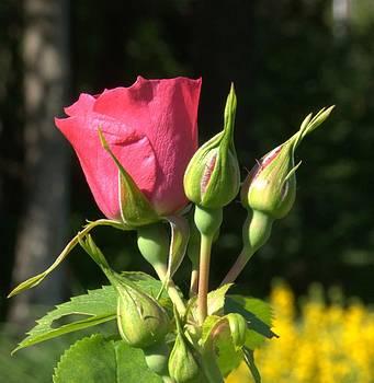 Valerie Kirkwood - Red Rosebud