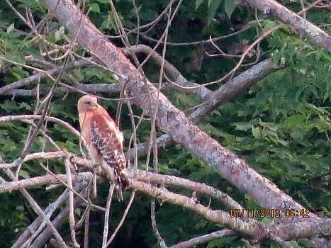 Red shoulder hawk by Diane Mitchell